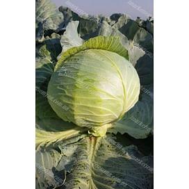 Колин F1 семена капусты белокочанной среднепоздней LibraSeeds