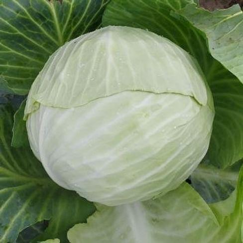 Алабама F1 семена капусты белокочанной 2 500 семян Lark Seeds/Ларк Сидс