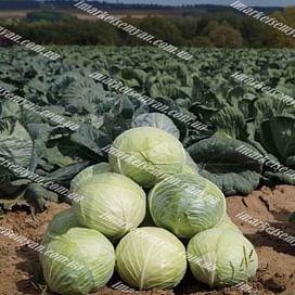 Ларсия F1 (Larsia) семена капусты б/к средней 2 500 семян Seminis/Семинис