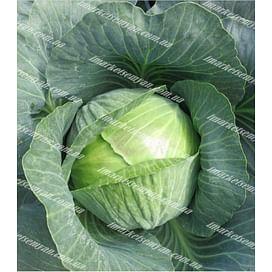Гальватрон F1 (Galvatron F1) семена капусты белокочанной среднепоздней 2 500 семян Seminis/Семинис