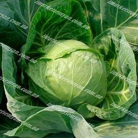 Глобус F1 (Globus F1) семена капусты белокочанной ранней 2 500 семян Seminis/Семинис
