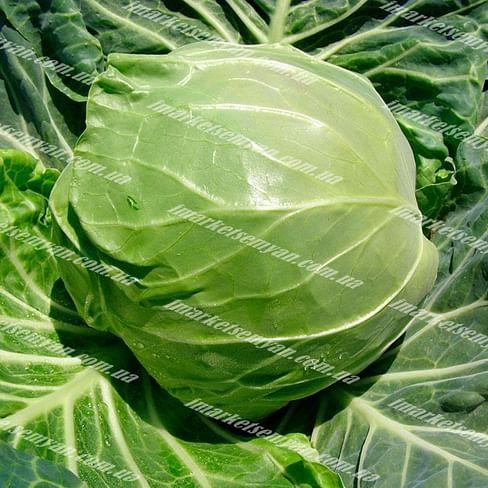 Рапидион F1 (Rapidion F1) семена капусты белокочанной ультраранней Seminis/Семинис