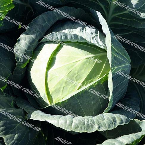 Пассат F1 семена капусты белокочанной поздней 2 500 семян Bejo/Бейо