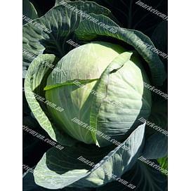 Циклон F1 семена капусты белокочанной среднеспелой 2 500 семян Bejo/Бейо