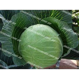 Харрикейн F1 семена капусты белокочанной средней 2 500 семян Bejo/Бейо