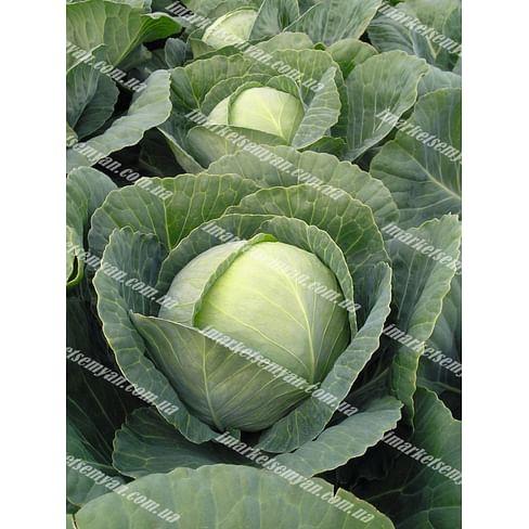 Томас F1 семена капусты белокочанной среднеспелой 2 500 семян Bejo/Бейо