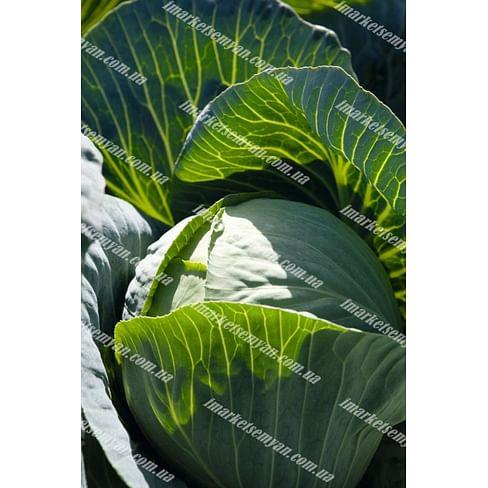 Синтекс F1 семена капусты белокочанной среднеспелой 2 500 семян Bejo/Бейо