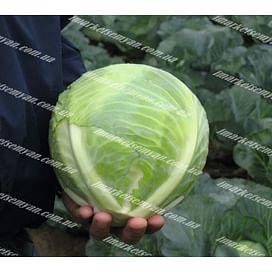 Риекшен F1 семена капусты белокочанной поздней 2 500 семян Bejo/Бейо