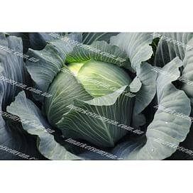 Леопольд F1 семена капусты белокочанной среднеспелой 2 500 семян Bejo/Бейо
