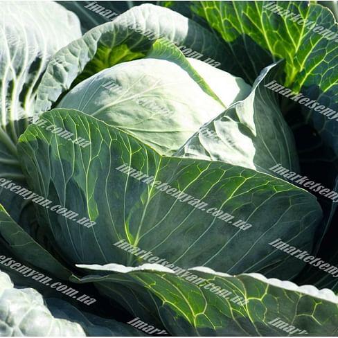 Кебтон F1 семена капусты белокочанной поздней 2 500 семян Bejo/Бейо