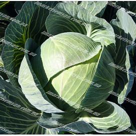 Каунтер F1 семена капусты белокочанной поздней 2 500 семян Bejo/Бейо