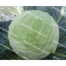 Кубок F1 семена капусты белокочанной средней 2 500 семян Clause/Клоз