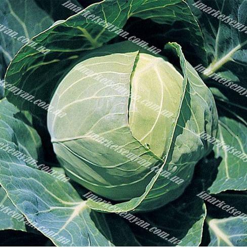 Капорал F1 семена капусты белокочанной средней Clause/Клоз