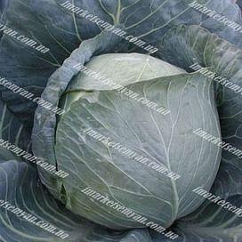 Браво F1 семена капусты белокочанной среднепоздней Clause/Клоз