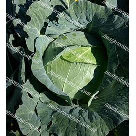 Суприм Квин F1 семена капусты белокочанной средней 2 500 семян NongWoo Bio