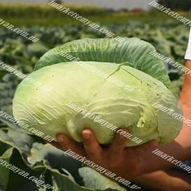 Платон F1 семена капусты белокочанной средней 20 семян NongWoo Bio