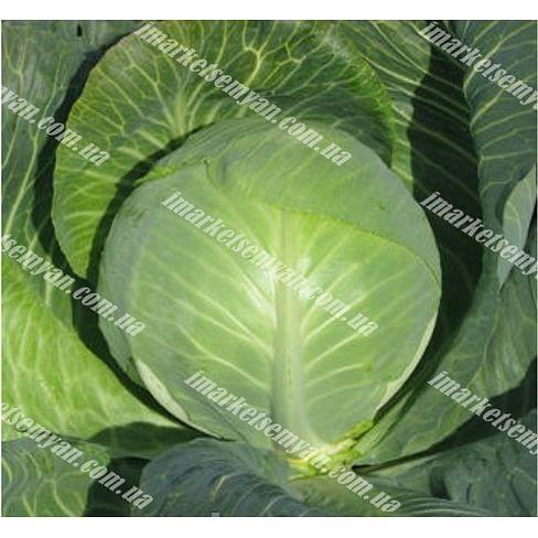 Одиссей F1 семена капусты белокочанной средней 2 500 семян NongWoo Bio