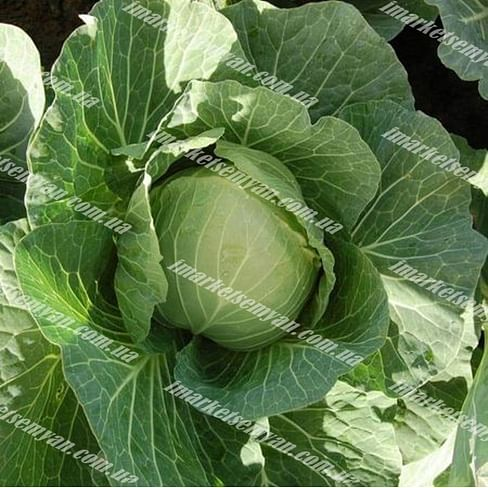 Каббис F1 семена капусты белокочанной среднеранней 2 500 семян Hazera
