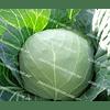 Калибр F1 семена капусты белокочанной поздней 2 500 семян Hazera