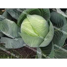 Структон F1 семена (калибр.) капусты белокочанной поздней 2 500 семян Hazera