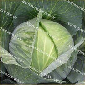 Сати F1 семена (калибров.) капусты белокочанной поздней Hazera
