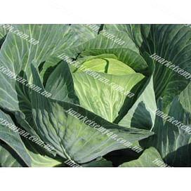 Лион F1 семена капусты белокочанной поздней (калибр.) 2 500 семян Hazera