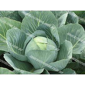 Золтан F1 (NiZ 17-1265) семена (калибр.) капусты белокочанной поздней 2 500 с., 10 000 с. Hazera