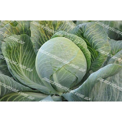 Гилсон F1 семена капусты белокочанной поздней (калибров.) 2 500 семян Hazera