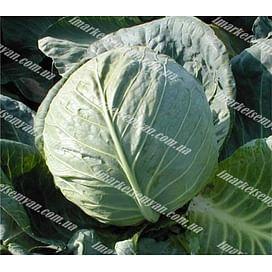 Ландини F1 семена капусты белокочанной средней 2 500 семян Hazera