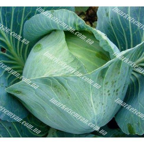 Престиж F1 семена капусты белокочанной поздней Semenaoptom/Семенаоптом