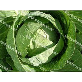 Казачок F1 семена капусты белокочанной ультраранней Semenaoptom/Семенаоптом