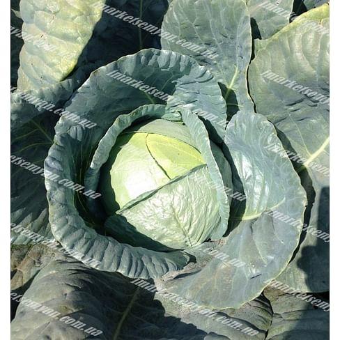 Баланс F1 семена капусты белокочанной поздней Lark Seeds/Ларк Сидс