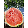 Бакай F1 семена арбуза тип Кримсон Свит раннего 1 000 семян LibraSeeds