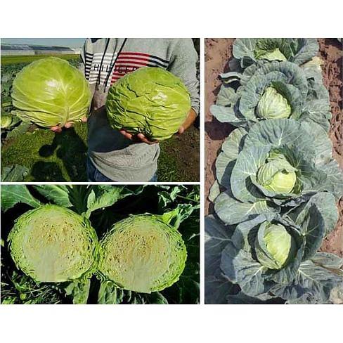 Чита F1 семена капусты белокочанной ранней 2 500 семян Taki Seed/Такии Сидс