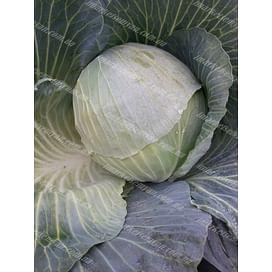 Ритейл F1 семена капусты белокочанной (120-130 дней) 1 000 семян LibraSeeds