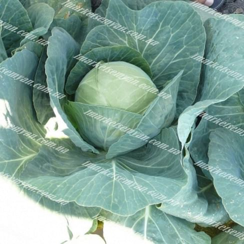 Пасадена F1 семена белокочанной капусты 2 500 семян Lark Seeds/Ларк Сидс