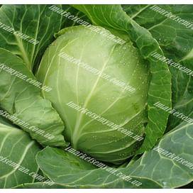 Оракл F1 семена капусты белокочанной ультраранней Clause/Клоз