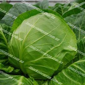 Легат F1 семена капусты белокочанной ультраранней Clause/Клоз
