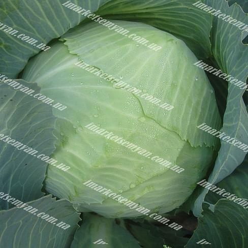 Скиф F1 семена капусты белокочанной поздней 2 500 семян Clause/Клоз