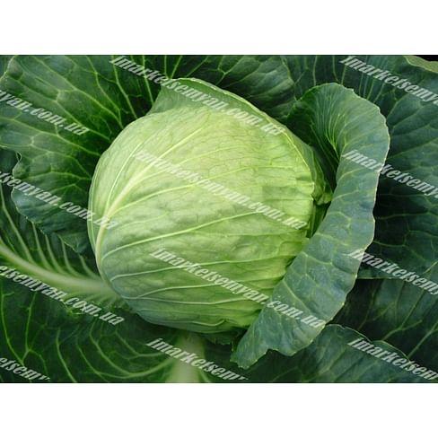 Тиара F1 семена капусты белокочанной ультраранней Bejo/Бейо