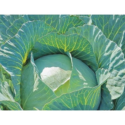 Пруктор F1 семена капусты белокочанной средней 2 500 семян Syngenta/Сингента