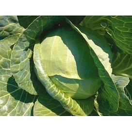 Рингтон F1 семена капусты белокочанной средней 2 500 семян Syngenta/Сингента