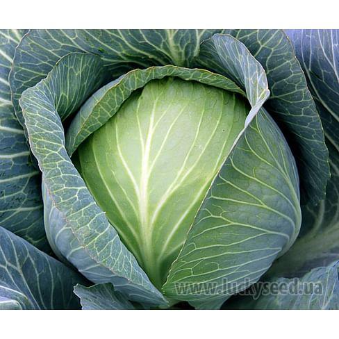 Супермаркет F1 семена капусты белокочанной поздней (калибр.) Lucky Seed