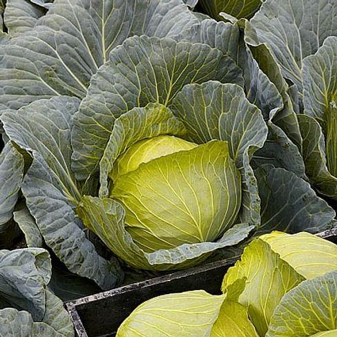 Свирель F1 семена капусты белокочанной ультра ранней 2 500 семян Nunhems