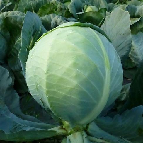 КС 60 F1 семена капусты белокочанной средней Kitano/Китано
