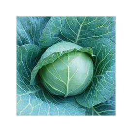 КС 15 F1 семена капусты белокочанной средней Kitano/Китано