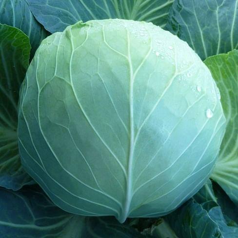 КС 29 F1 семена капусты белокочанной средней 1 000 семян Kitano/Китано