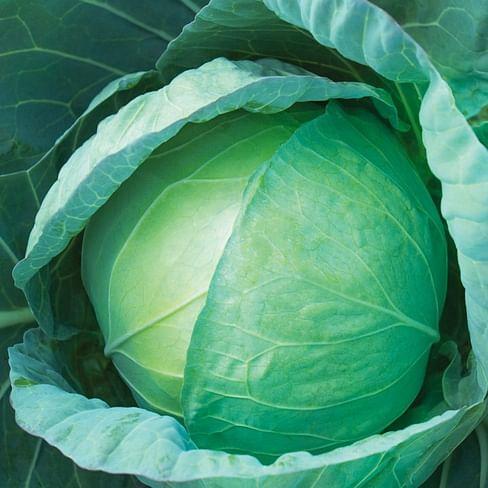 КС 586 F1 семена капусты белокочанной среднеспелый Kitano/Китано