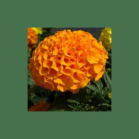 Чикаго Оранж/Chicago Orange семена бархатцев 500 семян Kitano/Китано