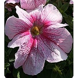 Виртуоз Распбери (Raspberry) семена петунии крупноцветковой дражированные Kitano/Китано